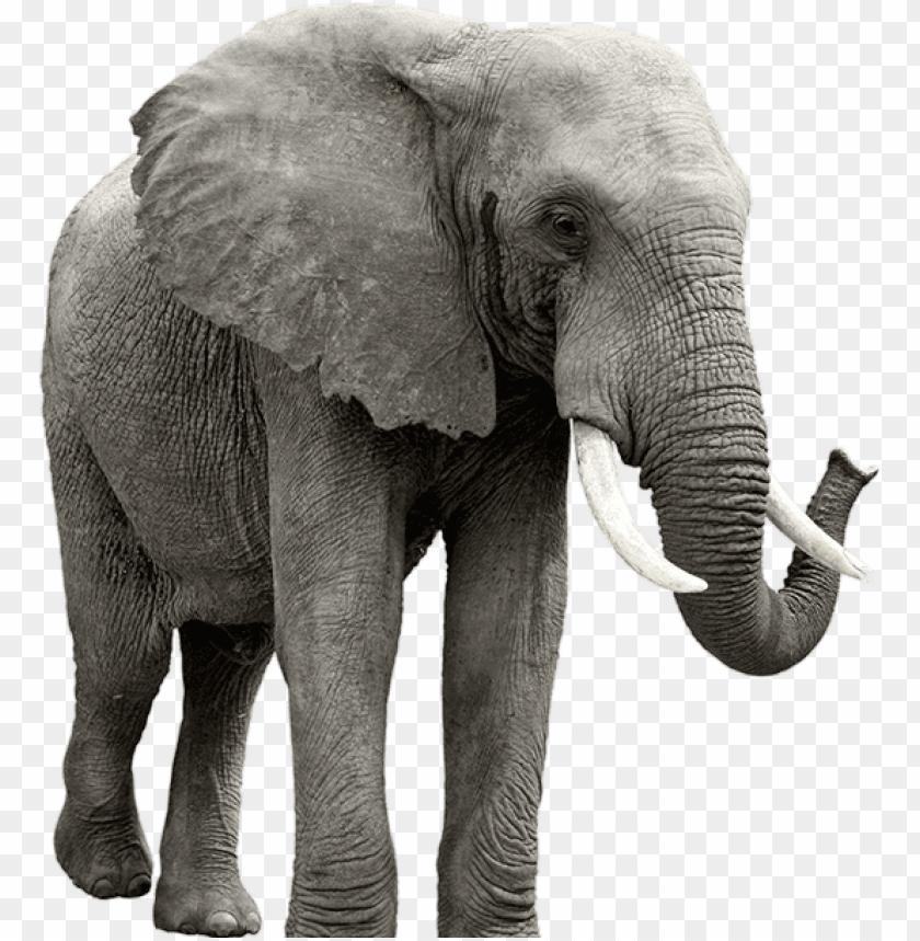 Elephant Png Elephant Transparent Png Image With Transparent Background Toppng Three species are recognised, the african bush elephant (loxodonta africana), the african forest elephant (l. elephant png elephant transparent png