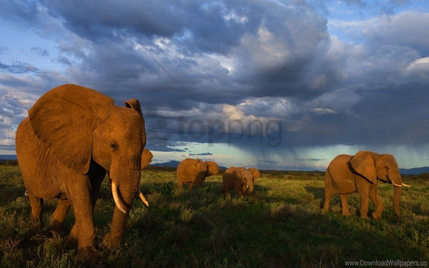 free PNG elephants, flock, grass, walk wallpaper background best stock photos PNG images transparent
