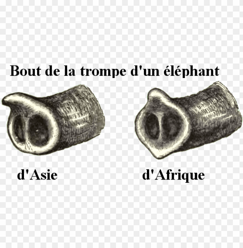 free PNG elephanttrunks PNG image with transparent background PNG images transparent