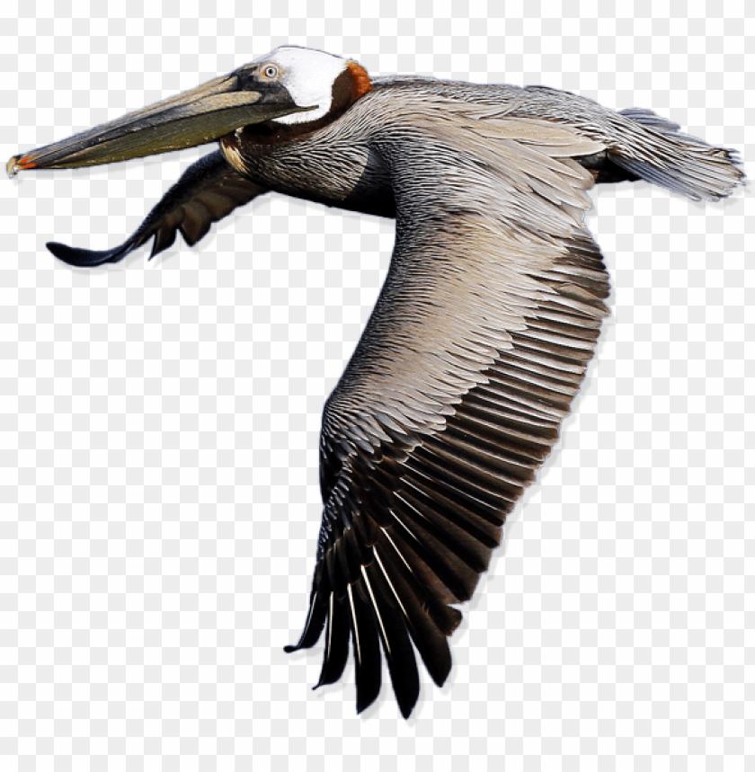 free PNG elican png transparent images png images - pelicano PNG image with transparent background PNG images transparent