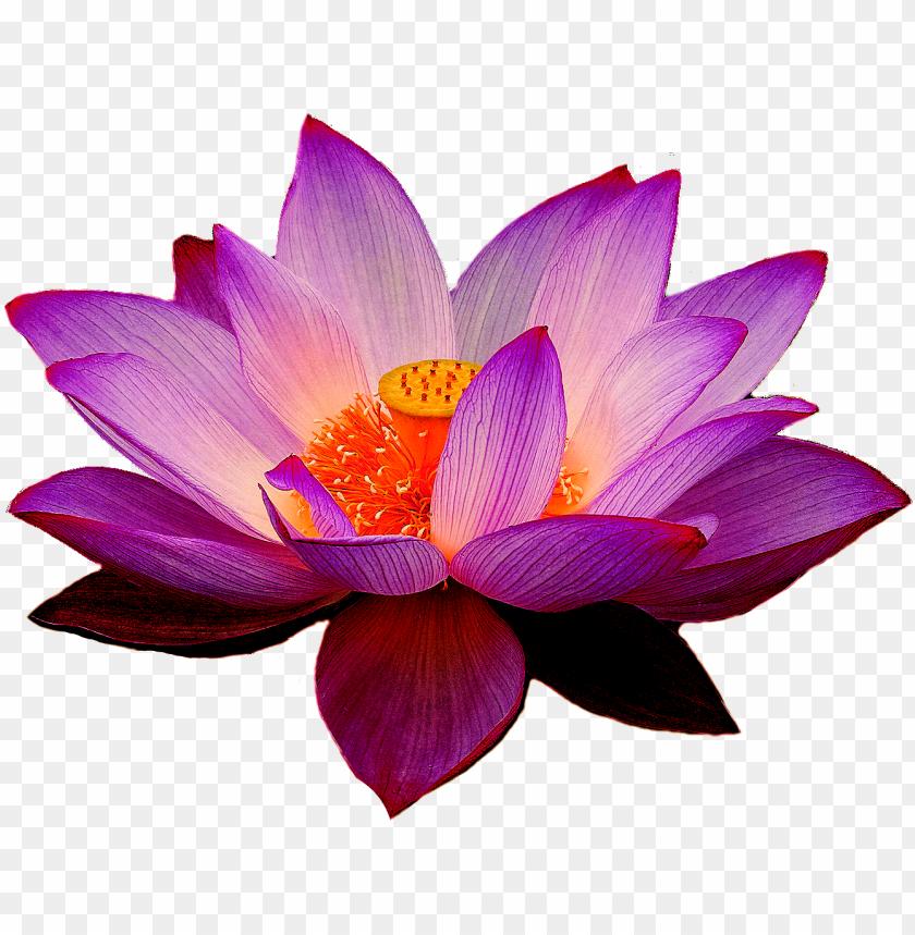free PNG elumbo nucifera lotus yoga fit flower clip art - lotus PNG image with transparent background PNG images transparent