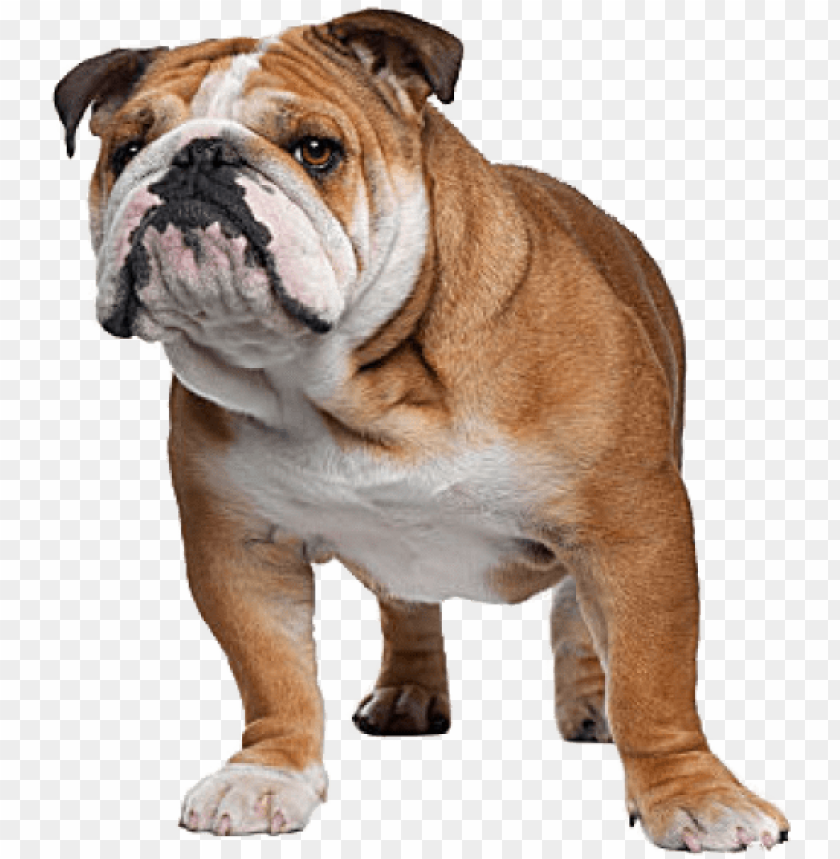 english bulldog complete information about the english - cat breeds with a do PNG image with transparent background@toppng.com