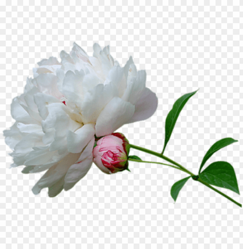 free PNG eony-white - peonies white transparent background PNG image with transparent background PNG images transparent