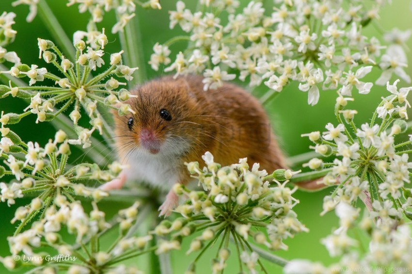free PNG eurasian harvest mouse, grass, mouse, plant, rodent wallpaper background best stock photos PNG images transparent