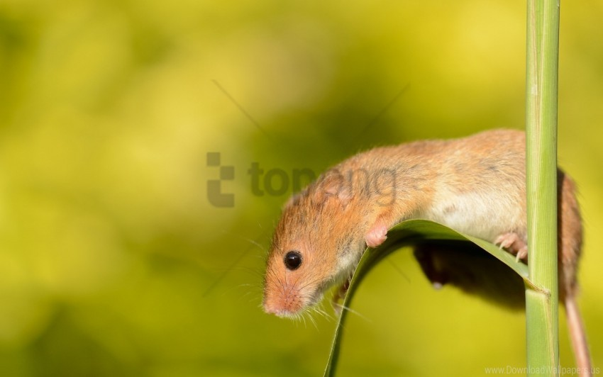 free PNG eurasian harvest mouse, mouse, rodent, sheet wallpaper background best stock photos PNG images transparent