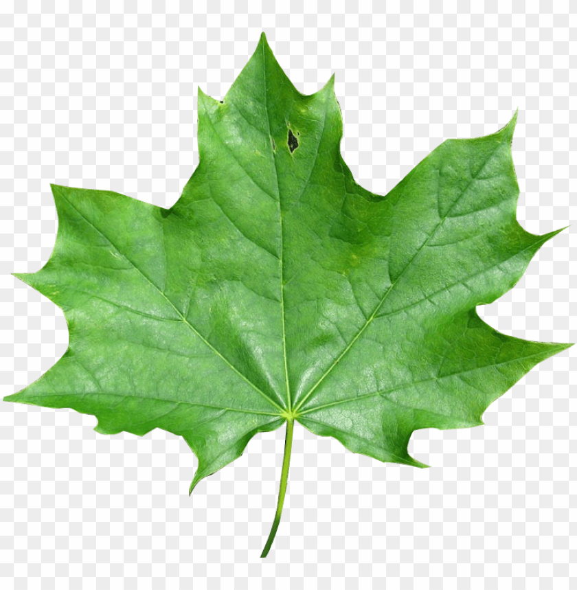 free PNG export as - maple leaf PNG image with transparent background PNG images transparent