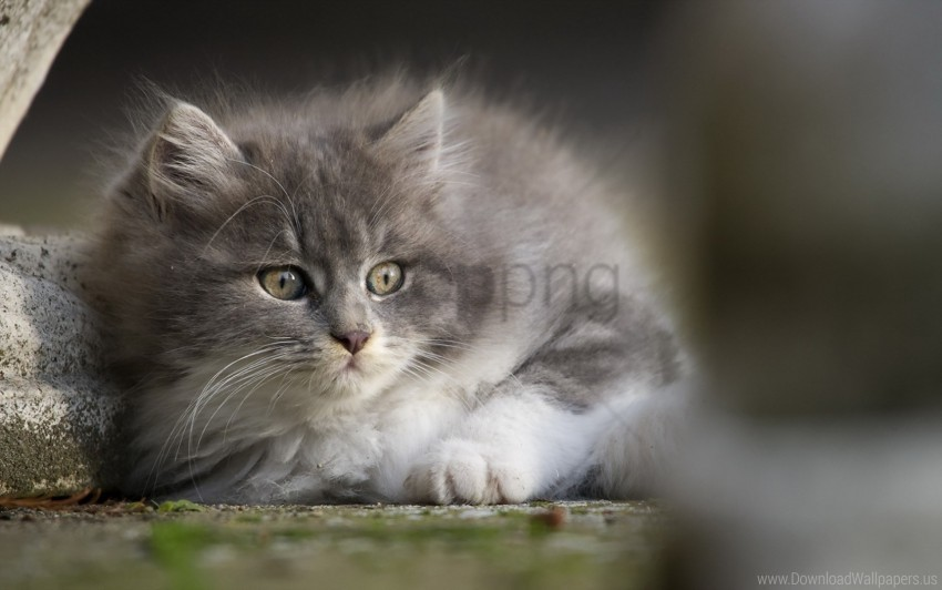 eyes, face, gray, kitten wallpaper background best stock photos@toppng.com