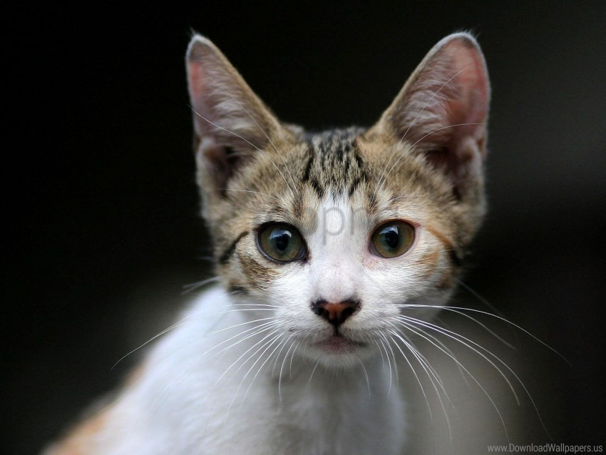 free PNG eyes, face, kitten, surprise wallpaper background best stock photos PNG images transparent