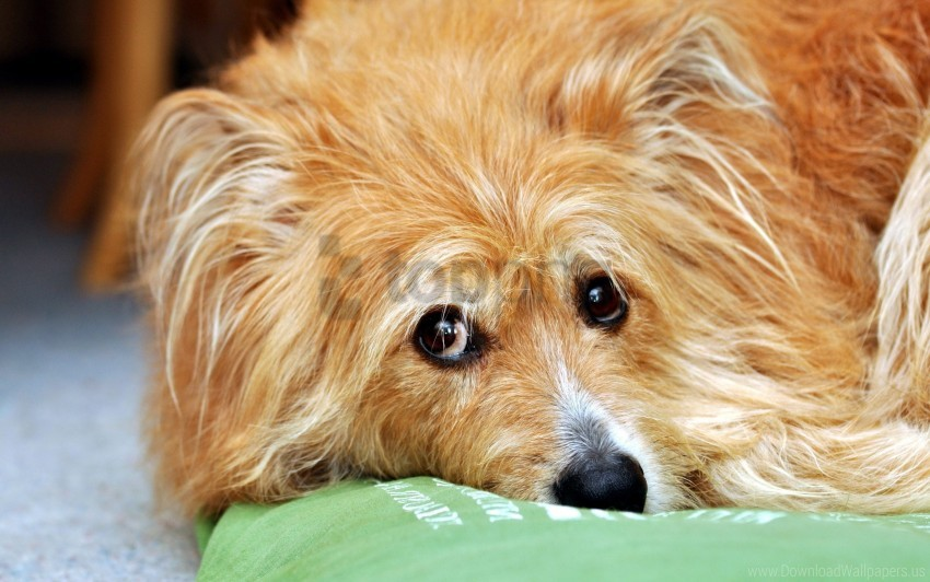 free PNG eyes, fluffy, puppy, sadness wallpaper background best stock photos PNG images transparent