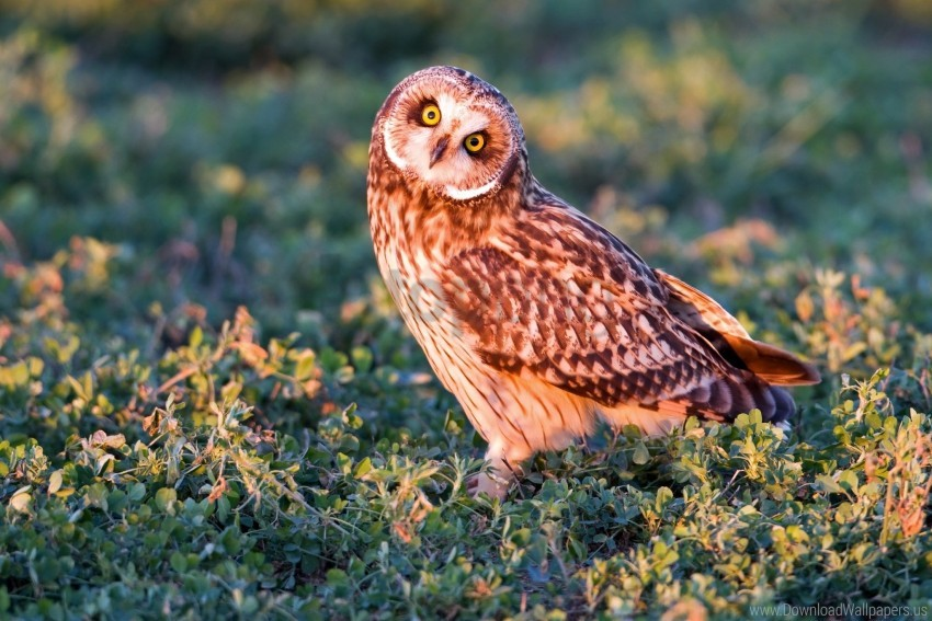 free PNG eyes, grass, light, owl, predator wallpaper background best stock photos PNG images transparent