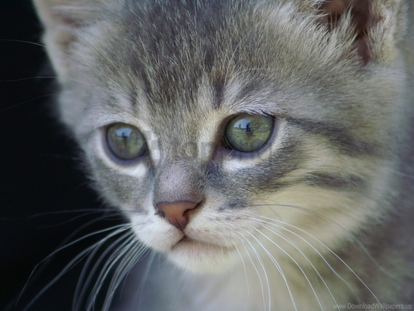 free PNG face, fur, gray, kitten wallpaper background best stock photos PNG images transparent