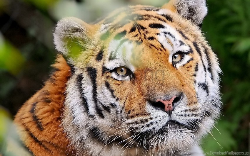 free PNG face, good, look, predator, tiger wallpaper background best stock photos PNG images transparent