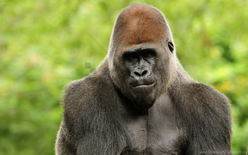 Face Gorilla Hair Monkey Wallpaper Background Best Stock Photos Toppng