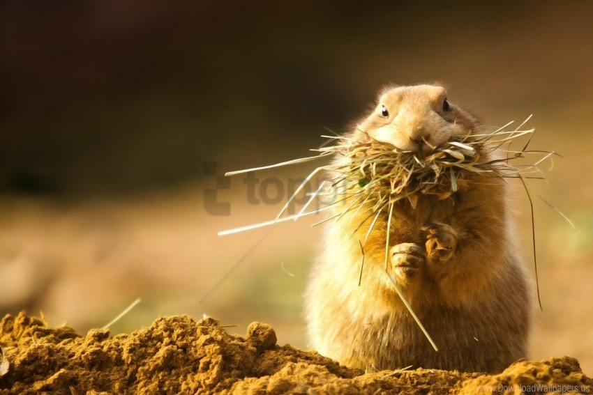 free PNG face, grass, hide, hunt, prairie dog wallpaper background best stock photos PNG images transparent