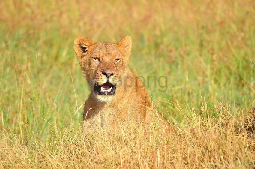 free PNG face, grass, lion, mouth open, predator wallpaper background best stock photos PNG images transparent
