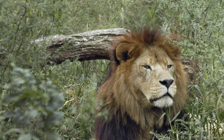 free PNG face, grass, lion, predator wallpaper background best stock photos PNG images transparent