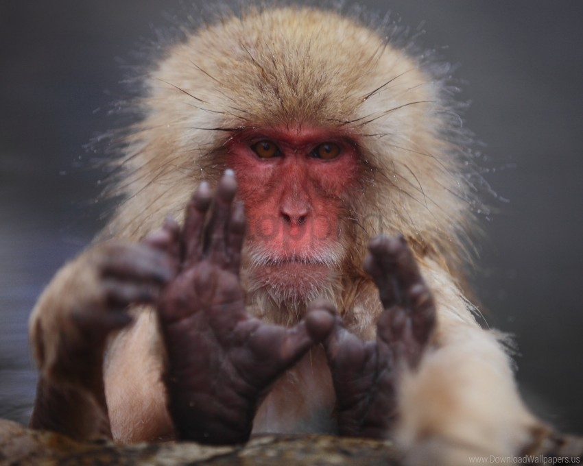 Face Hair Japanese Macaque Wallpaper Background Best Stock Photos Toppng
