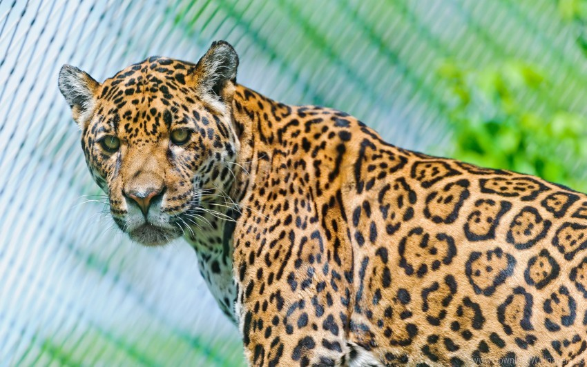 free PNG face, jaguar, look, look back, predator, spotted wallpaper background best stock photos PNG images transparent