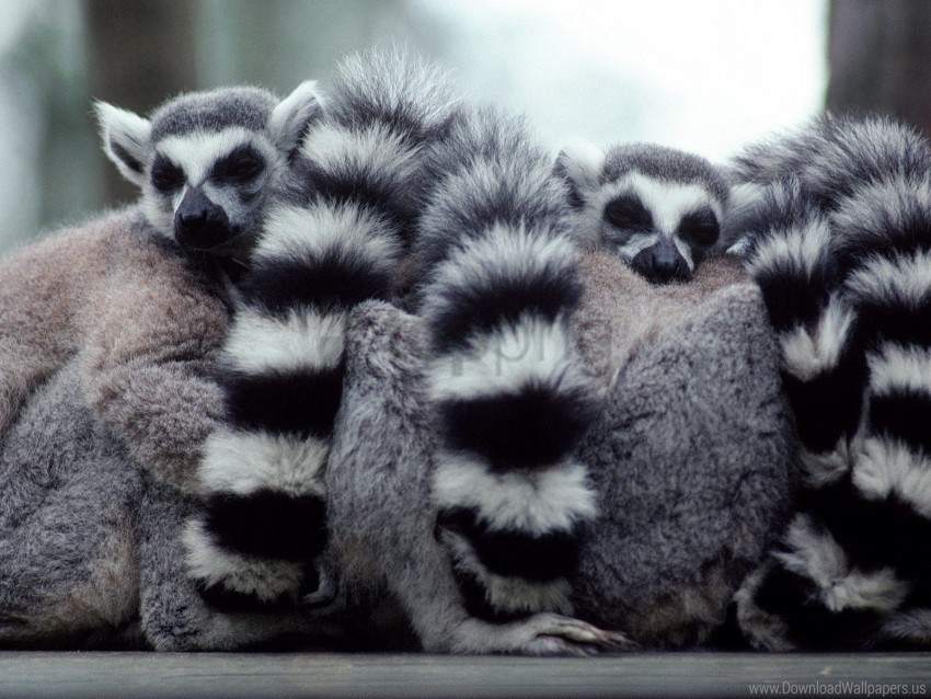 free PNG family, hide, lemurs, tail wallpaper background best stock photos PNG images transparent