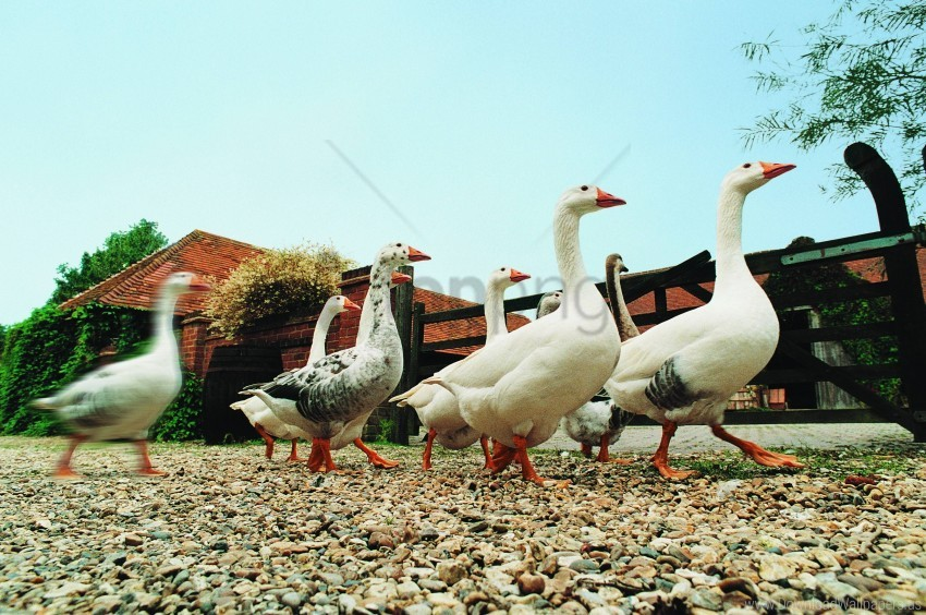 free PNG farming, geese, poultry wallpaper background best stock photos PNG images transparent