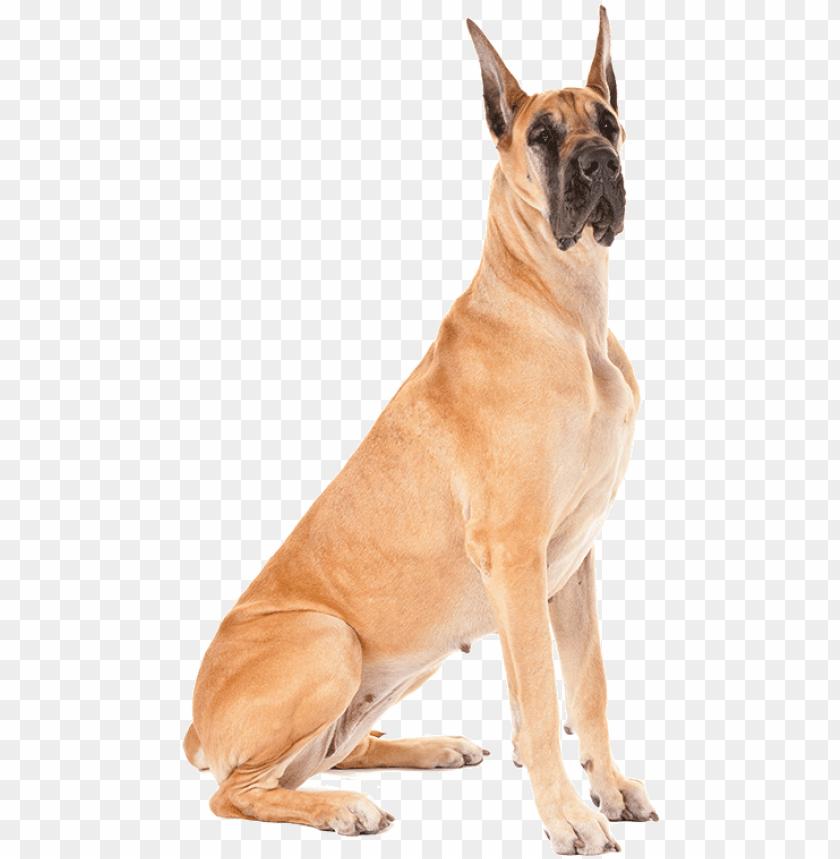 free PNG fawn great dane dog sitting - variation in dog breeds PNG image with transparent background PNG images transparent