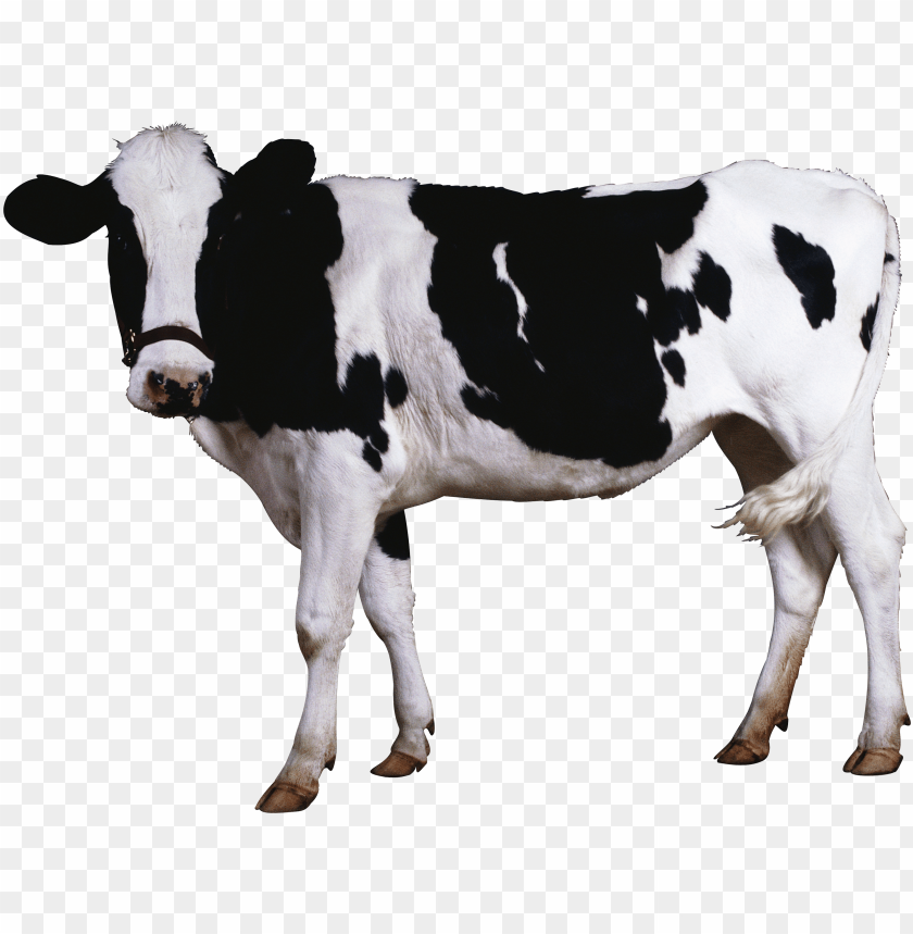 free PNG Download female black white cow standing png images background PNG images transparent
