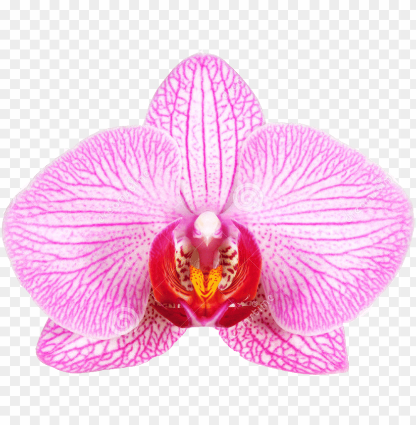 free PNG female genital surgery vaginal rejuvenation - flowers that look like female genitila PNG image with transparent background PNG images transparent