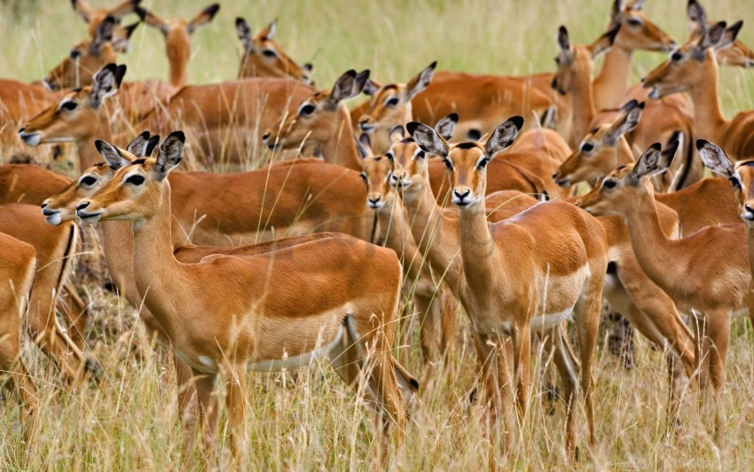 free PNG female, herd, impala, kenya, mara, masai wallpaper background best stock photos PNG images transparent