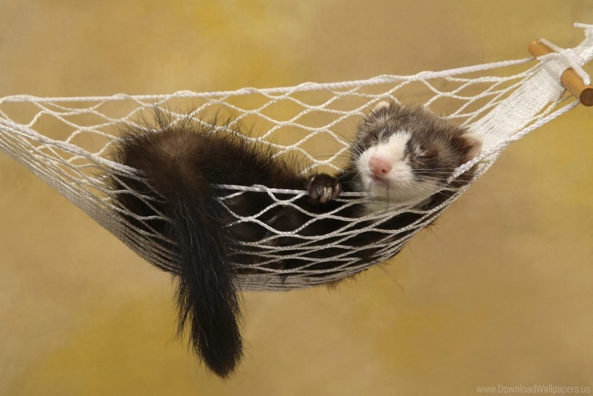 free PNG ferret, hammock, rest, sleeping, small animal wallpaper background best stock photos PNG images transparent