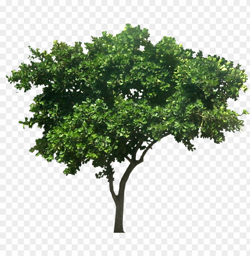 free PNG ficustri01l extended family, my family, family trees - small fig tree PNG image with transparent background PNG images transparent