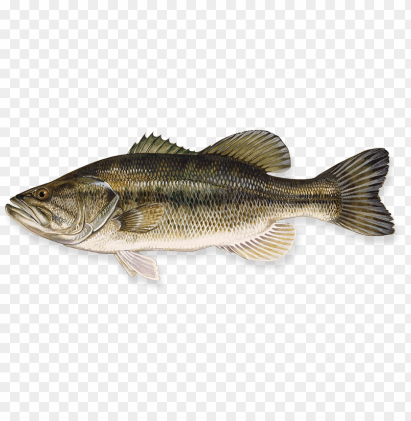 free PNG Download fish png images background PNG images transparent