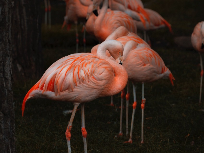 flamingo, birds, color, feathers, blur background@toppng.com