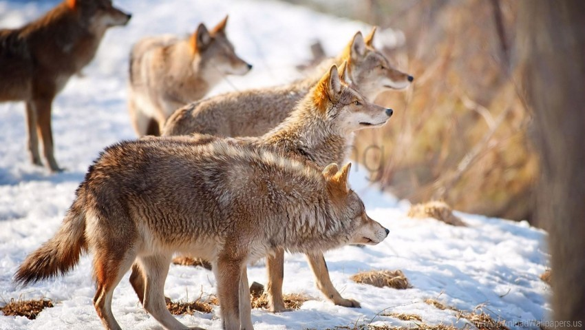 free PNG flock, hunting, snow, winter, wolves wallpaper background best stock photos PNG images transparent