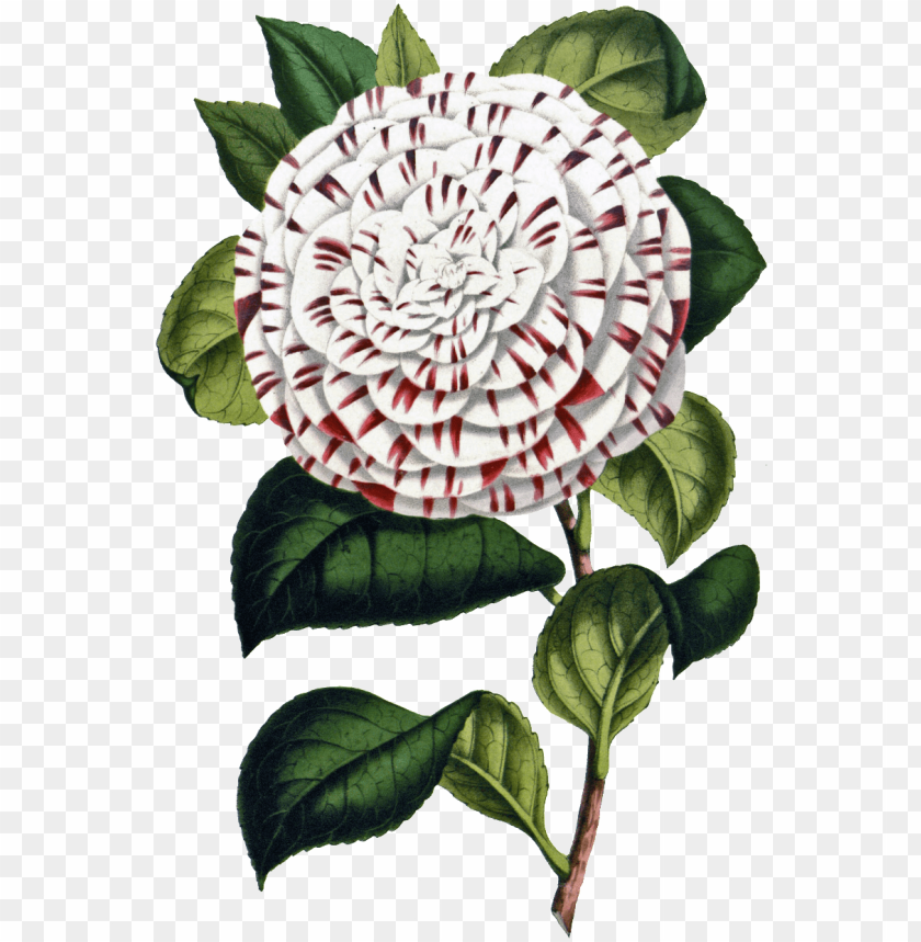 free PNG flower PNG image with transparent background PNG images transparent