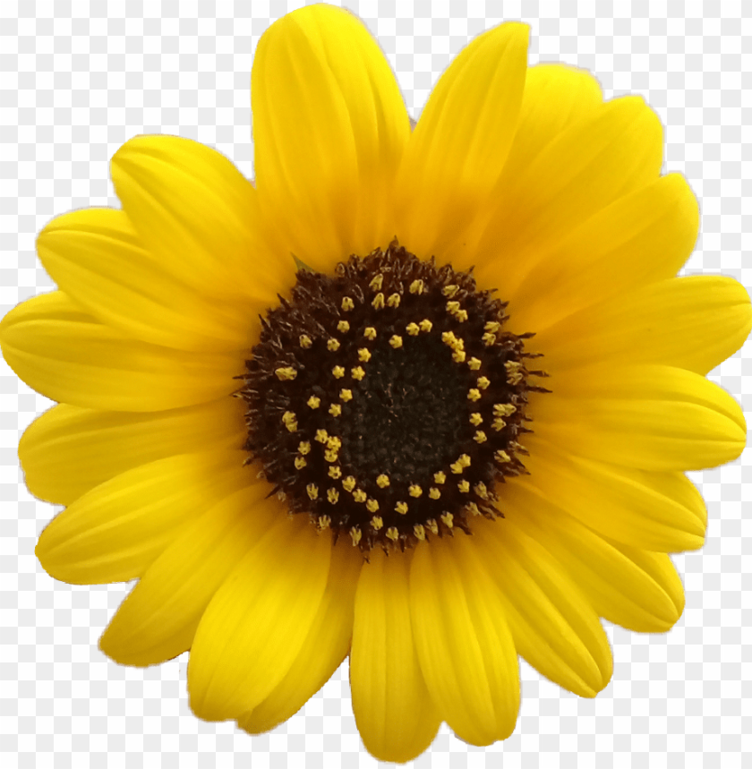 free PNG flower flores girasol girasoles - yellow flower aesthetic PNG image with transparent background PNG images transparent