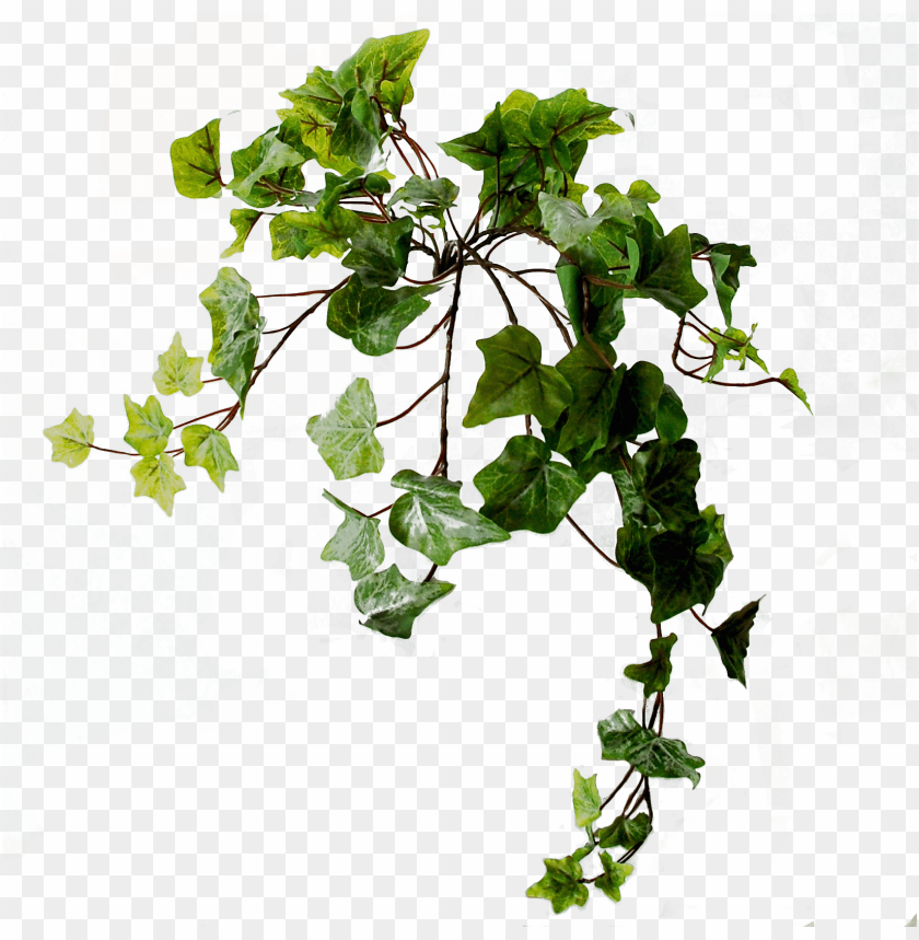 free PNG flowerdutchess ivy light frosted green 45 cm - swamp maple PNG image with transparent background PNG images transparent