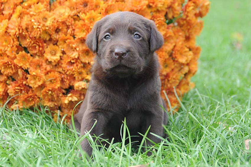 free PNG flowers, grass, muzzle, puppy wallpaper background best stock photos PNG images transparent