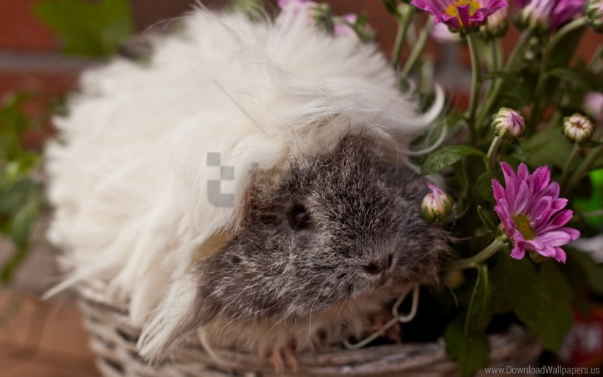free PNG fluffy, guinea pig, look, pretty, rodent wallpaper background best stock photos PNG images transparent
