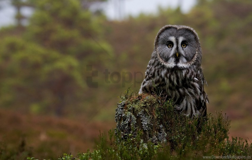 free PNG forest, great gray owl, owl, predator, stump wallpaper background best stock photos PNG images transparent