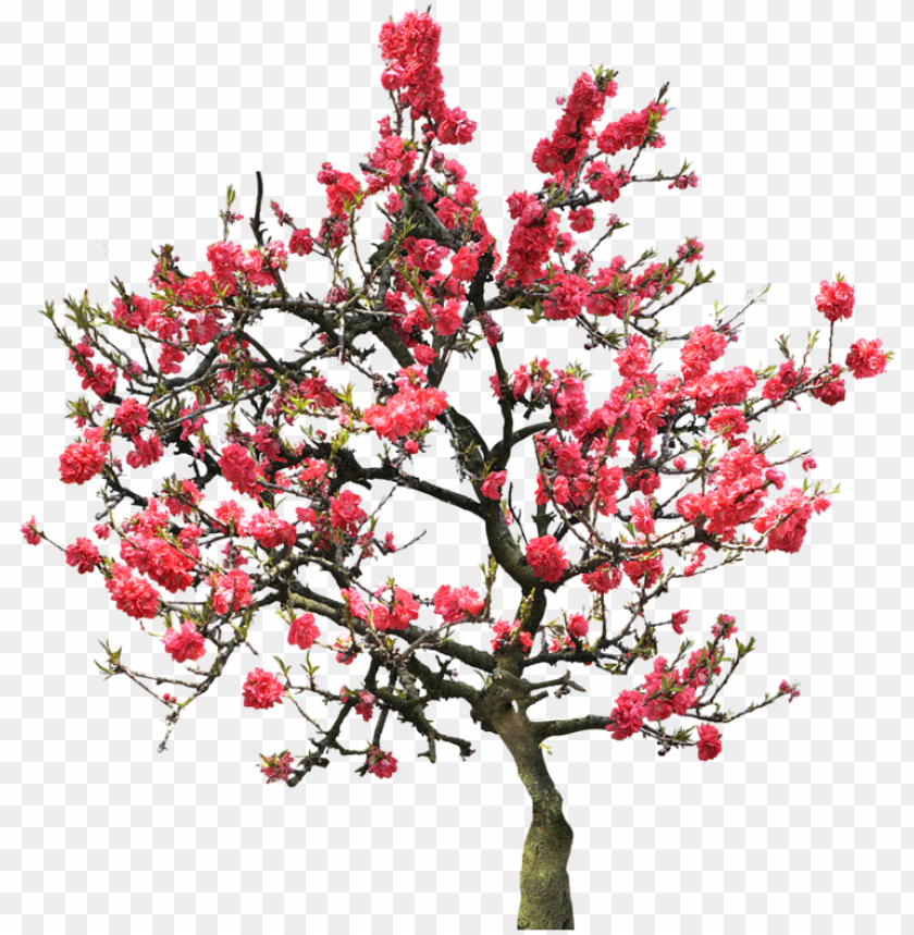 free PNG Фотки cherry blossom tree, japanese cherry blossoms, - university of maryland university college PNG image with transparent background PNG images transparent