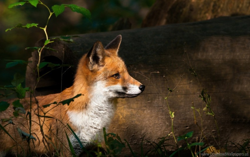 free PNG fox, fox cub, grass, shade wallpaper background best stock photos PNG images transparent