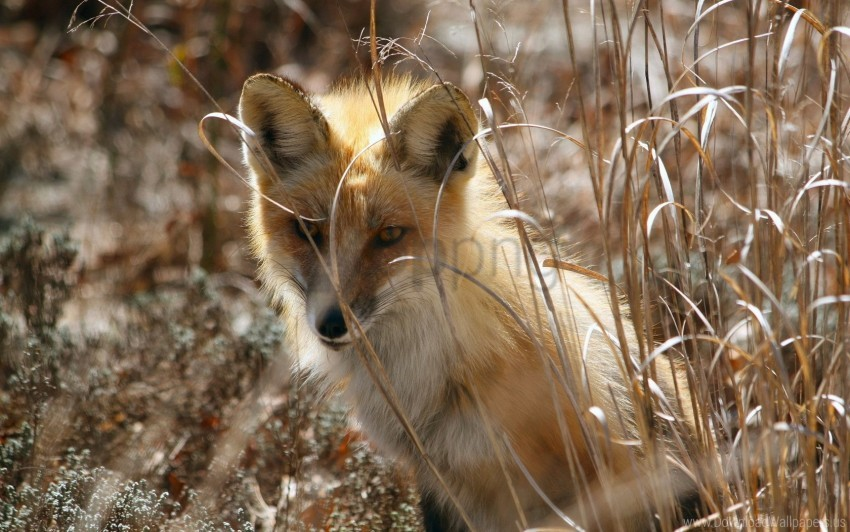 free PNG fox, grass, hide, sit wallpaper background best stock photos PNG images transparent