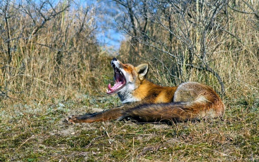 free PNG fox, grass, lying, screaming wallpaper background best stock photos PNG images transparent