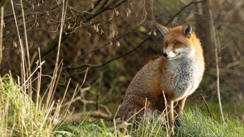 free PNG fox, grass, predator, sit wallpaper background best stock photos PNG images transparent