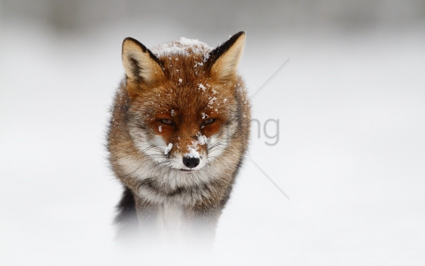 free PNG fox, nature, snow, storm, winter wallpaper background best stock photos PNG images transparent