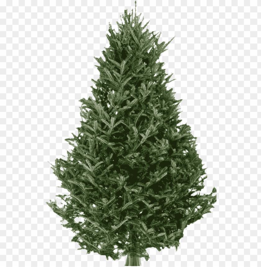 free PNG fraser fir christmas tree - real fraser fir christmas tree PNG image with transparent background PNG images transparent