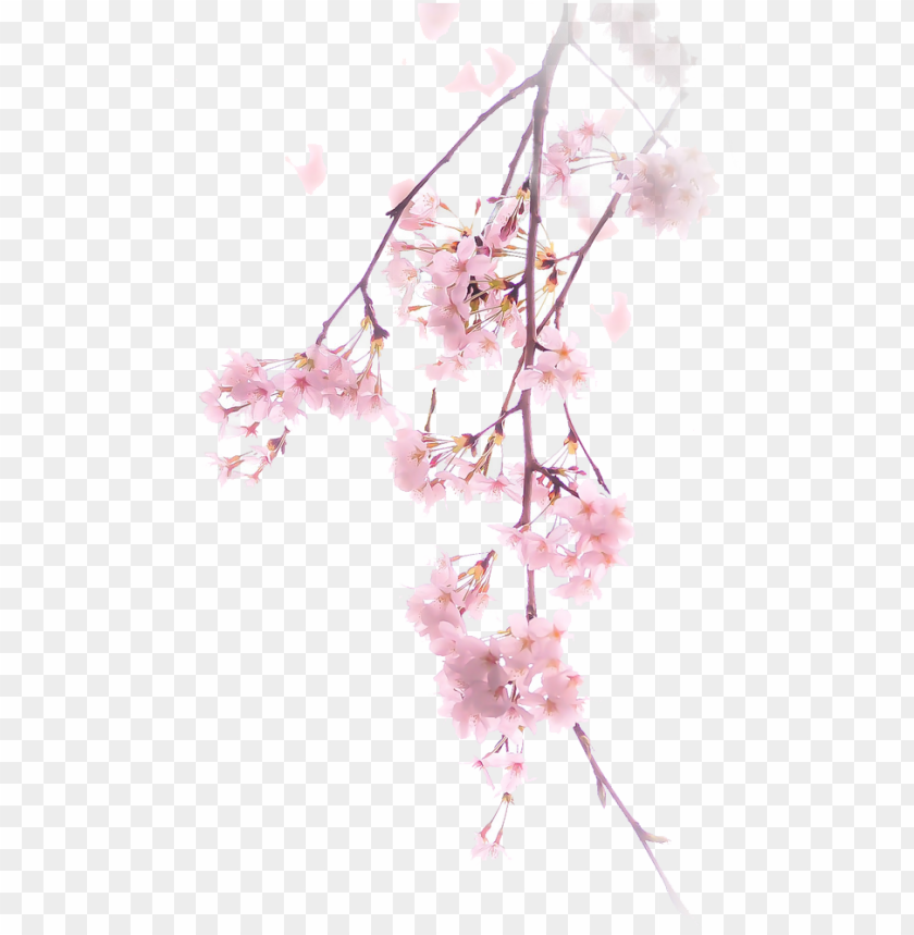 free PNG free download cherry blossom png clipart cherry blossom - pink cherry blossom PNG image with transparent background PNG images transparent