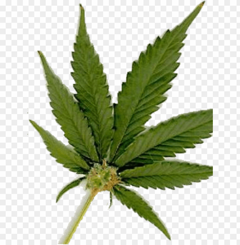 free PNG free weed graphics downloads - marijuana leaf PNG image with transparent background PNG images transparent