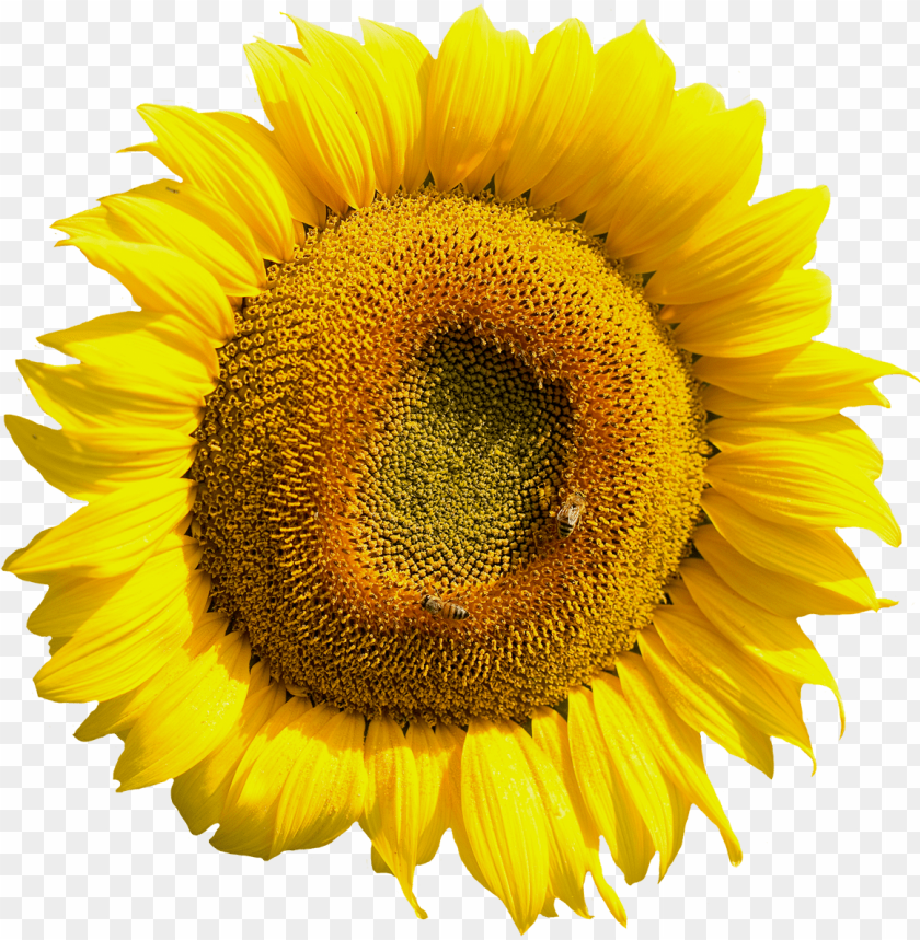 free PNG free yellow sunflower flower png image - sun flower flower PNG image with transparent background PNG images transparent