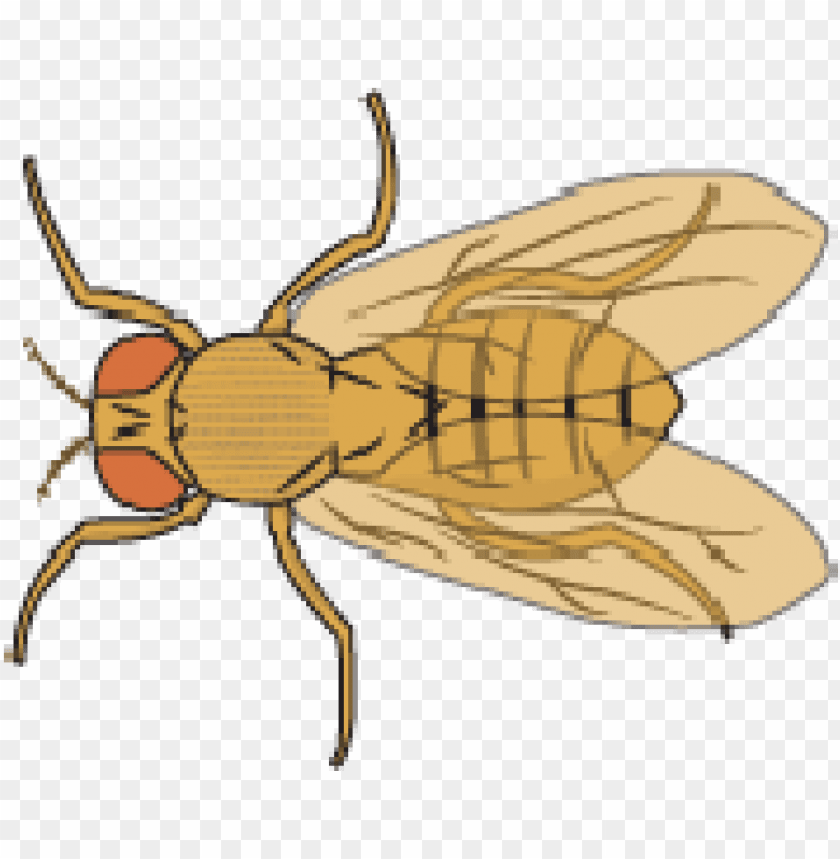 free PNG fruit fly PNG image with transparent background PNG images transparent